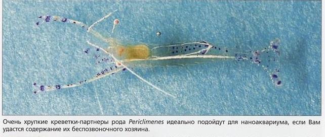 Хрупкие креветки рода Periclimenes