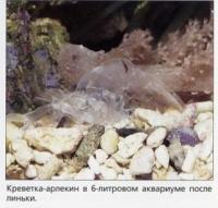 Hymenocera picta в 6-литровом аквариуме