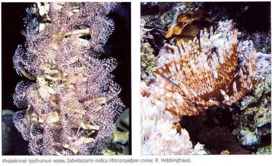 Индийский трубчатый червь Sabellastarte indica