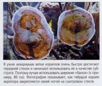 Как твёрдый коралл закрепляется на смотровом стекле