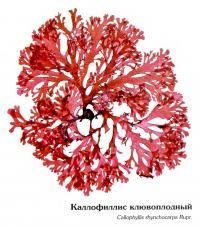 Каллофилис клювоплодный