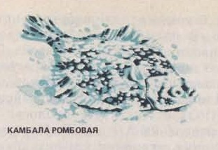 Камбала ромбовая