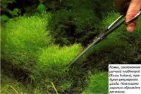 Камни, озелененные риччией плавающей требуют регулярного ухода