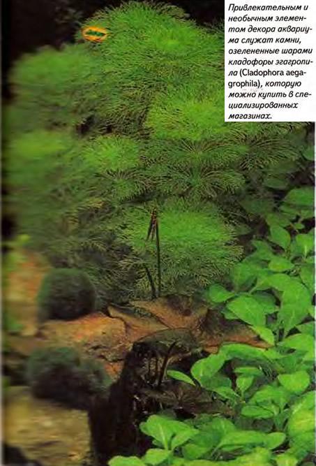 Камни, озелененные шарами кладофоры эгагропила