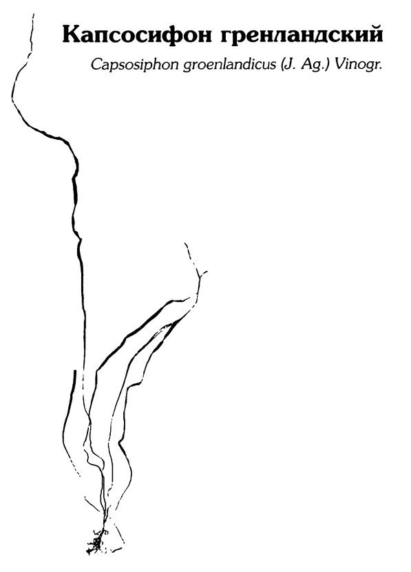 Капсосифон гренландский