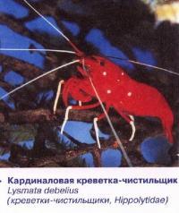 Кардиналовая креветка-чистильщик