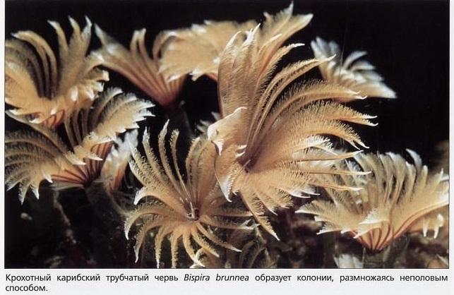 Карибский трубчатый червь Bispira brunnea