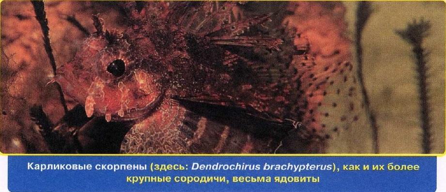 Карликовые скорпены - ядовиты