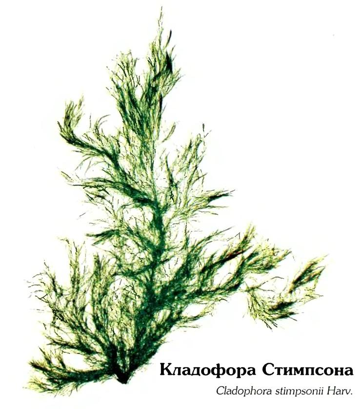 Кладофора Стимпсона