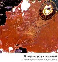 Клатроморфум плотный