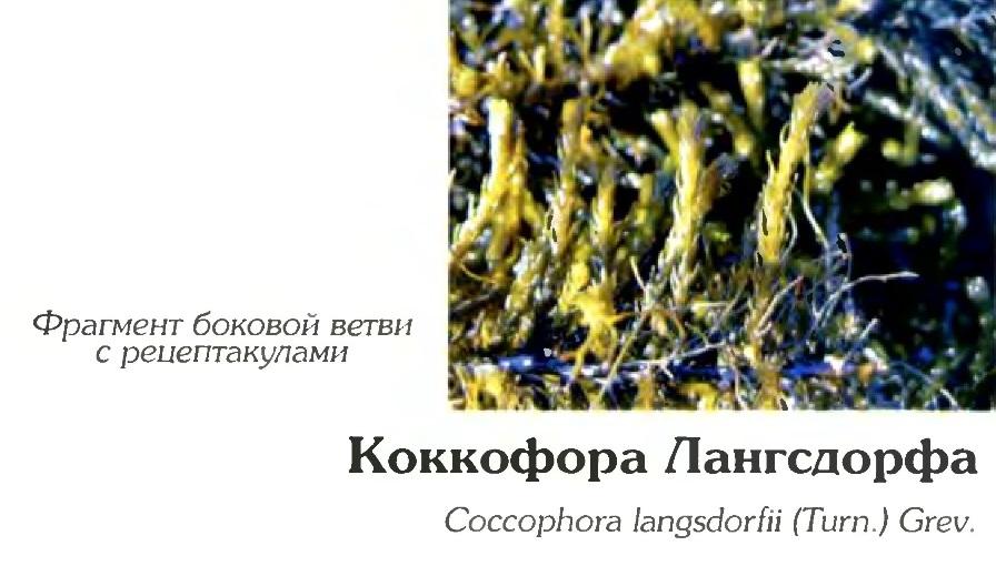 Коккофора Лангсдорфа (фрагмент)
