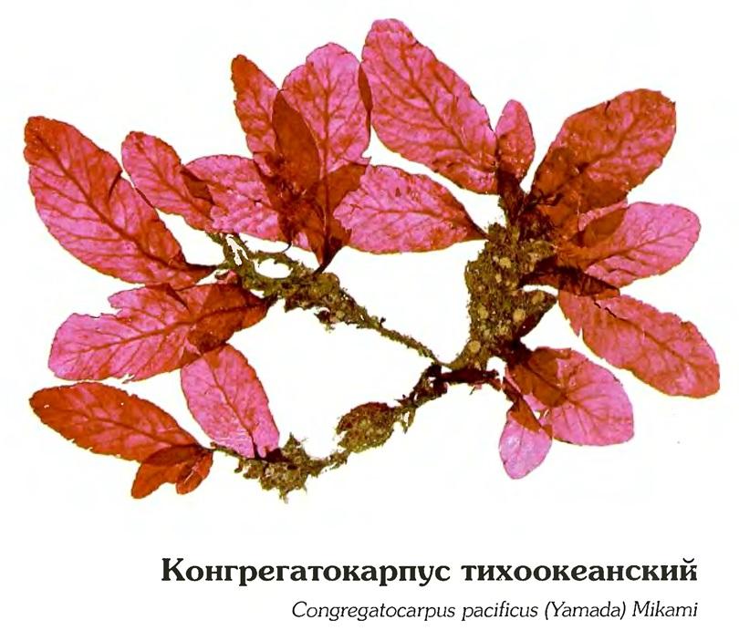 Конгрегатокарпус тихоокеанский