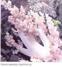 Коралл-деревцо Nephthea sp.