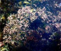 Кораллина лекарственная в среде обитания