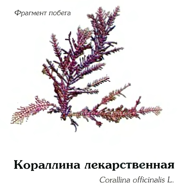 Кораллина лекарственная