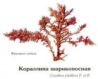 Кораллина шариконосная