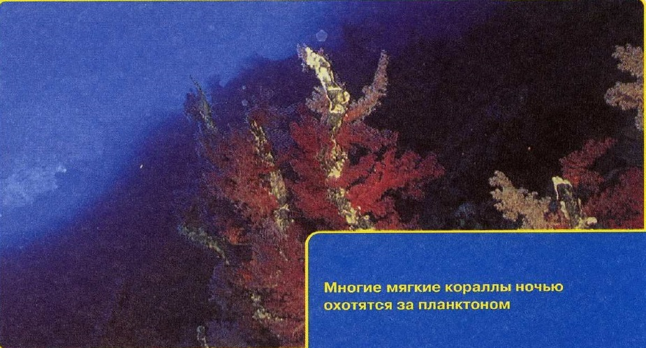 Кораллы на ночной охоте