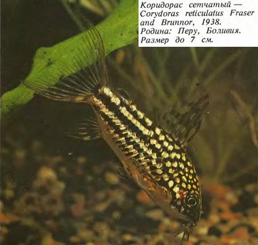 Коридорас сетчатый