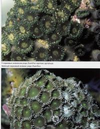 Корковые анемоны рода Zoanthus