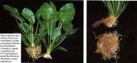 Корни крупных растений перед высадкой необходимо сильно укоротить