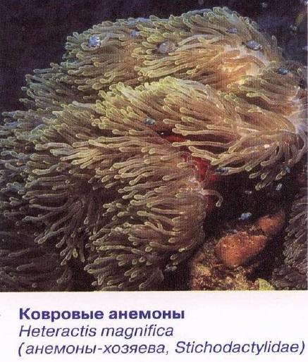 Ковровые анемоны