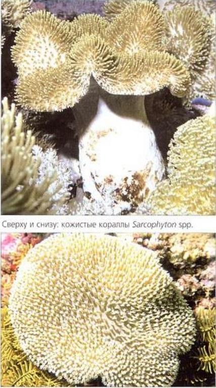 Кожистые кораллы Sarcophyton spp.