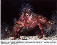 Краб-отшельник Dardanus pedunculatus