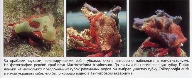 Крабы-пауки, декорирующие себя губками