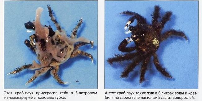Крабы-пауки обрастают всяким после жизни в наноаквариуме