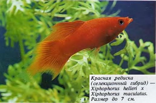 Красная редиска (селекционный гибрид)