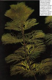 Красно-коричневая кабомбо палеформис (Cabomba paleformis)