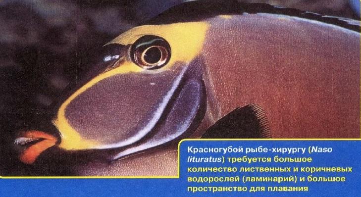 Красногубая рыба-хирург