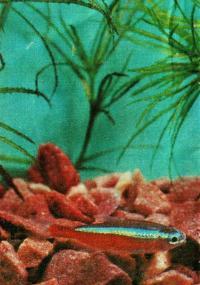 Красный неон (Cheirodon axelrodi)