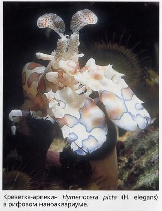 Креверка-арлекин Hymenocera picta в наноаквариуме