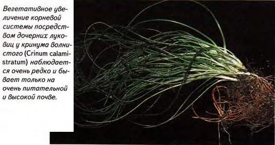 Кринум волнистый (Crinum calamistratum)