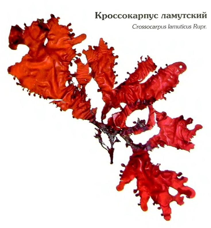 Кроссариус ламутский