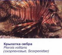 Крылатка-зебра