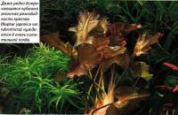 Кубышка японская разновидность красная (Nuphar japonica var. rubrotincta)