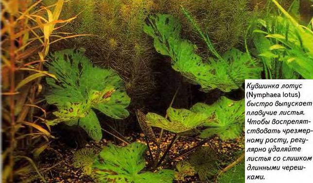 Кувшинка лотус быстро выпускает плавучие листья