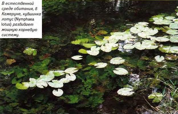 Кувшинка лотус (Nymphaea lotus)