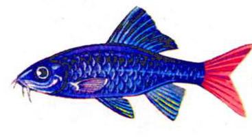 Лабео двухцветный (самец)