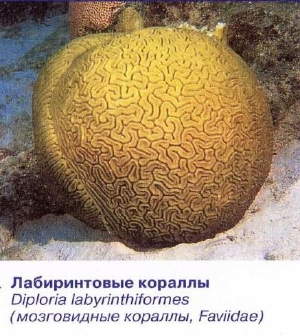 Лабиринтовые кораллы