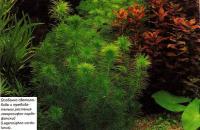 Лагоросифон кордо-фанский (Lagarosiphon cordo-fanus)