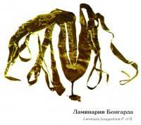 Ламинария Бонгарда