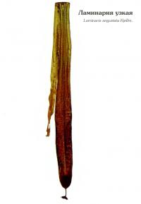 Ламинария узкая