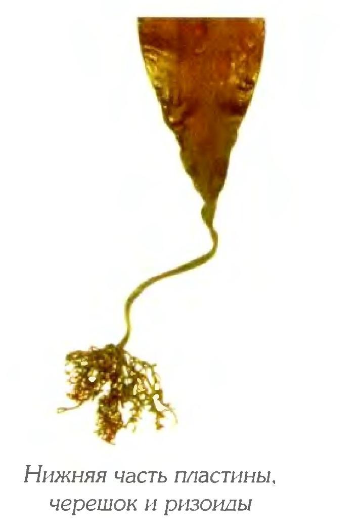 Ламинария японская длинноствольная (фрагмент)