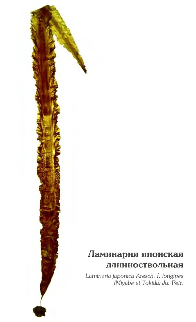 Ламинария японская длинноствольная