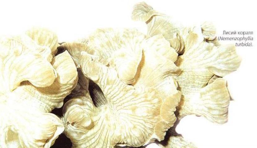 Лисий коралл (Nemenzophyllia turbida)