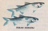 Лобан (Кефаль)
