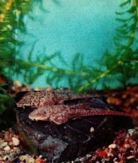 Локария (Dasyr caria filamentora)